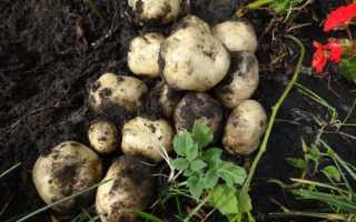 Состав, способы и нормы внесения удобрения Кемира картофельная