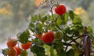 Низкорослые сорта помидоров: секреты успешного выращивания