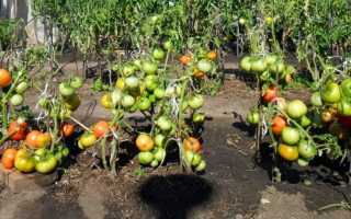 Выбираем сорта томатов устойчивых к фитофторозу и боремся с болезнью