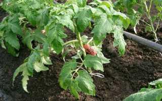 Правила выращивания рассады томата от специалиста компании Гавриш