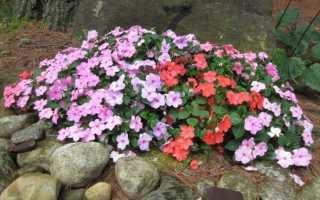 Болезни бальзамина и возможные вредители — как от них избавиться и защитить растение