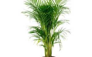 Хамедорея изящная — уход в домашних условиях за цветущей пальмой