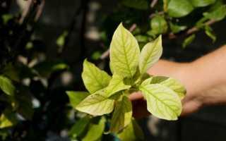Хлороз бывает разным, или Чего не хватает нашим растениям?