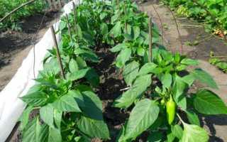 Перец Джульетта — как выращивать крупный и вкусный урожай этого сорта