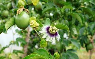 Пассифлора инкарнатная — от семян до урожая «маракуйи»