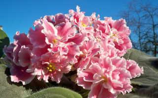 Фиалка Кудряшка Сью — как вырастить растение у себя на подоконнике