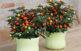 Чем опасен цветок Солянум, можно ли употреблять в пищу его плоды