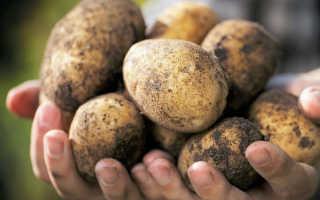 Как вырастить хороший урожай картошки — определенные правила и советы
