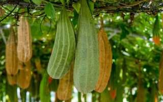 Люффа – это тропическая лиана, основные характеристики