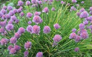 Выращивание лука шнитт — сорта и использование