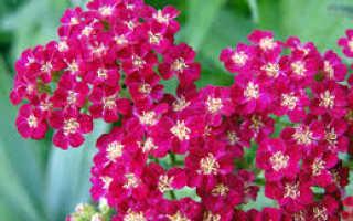 Розовый тысячелистник — врачеватель раненых и оберег домашнего очага