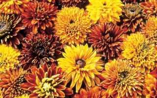 Золотистая махровая рудбекия — любимица всех садоводов