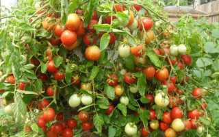 Происхождение помидора — родина и применение в древности, исторические факты