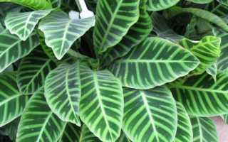 Строманта — сохнут листья, что делать, как осуществлять правильно уход и какие бывают разновидности