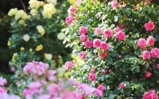 Что такое розарий, каким он бывает и какие сорта роз для него выбрать