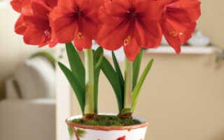 Амариллис — комнатный цветок , как избежать ошибок в уходе