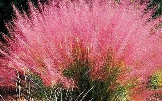 Мюленбергия волосовидная — выращивание из семян на приусадебном участке