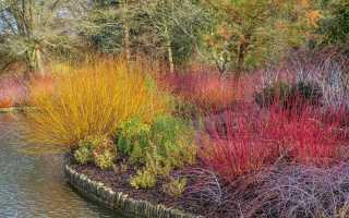 Звезды межсезонья — растения с самыми красивыми ветвями и корой