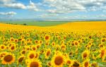 Гербициды для подсолнечника — когда и как правильно использовать