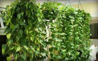 Сциндапсус — уход в домашних условиях и необходимые правила для пересадки растения