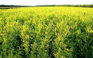 Донник — сидерат, как использовать и выращивать растение