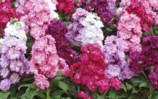 Многолетний цветок левкой — сортовое разнообразие, выращивание и уход
