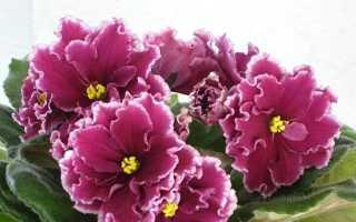 Фиалка Зимняя вишня — основы ухода, хитрости для обильного цветения