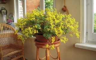 Цветок аихризон — основные характеристики