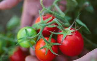 Низкорослые помидоры — идеальны для открытого грунта