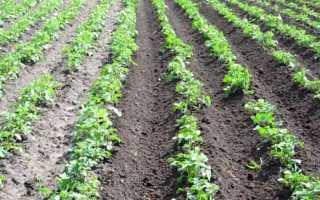 Винета сорт картофеля — легкий способ собрать ранний урожай
