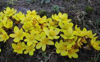 Весенник зимующий — какими методами размножается и как осуществляется полив