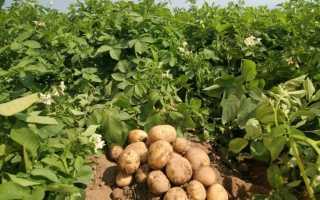 Главный вопрос садоводов — как правильно садить картофель?