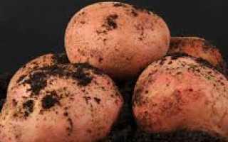 Картофель Журавинка — описание сорта и его особенности