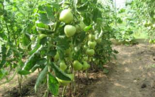 Выращивание помидоров в открытом грунте: особенности посадки и ухода
