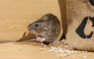 Народные средства от крыс в частном доме, способы борьбы с помощью ловушек, отравления