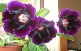 Глоксиния Императрица — как вырастить красавицу