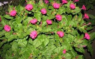 Ночная красавица — выращивание из семян, когда сажать