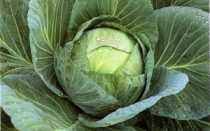 Лучшие сорта капусты для хранения зимой