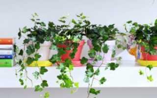 Цветок дэйфлауэр — особенности выращивания, размножения, виды и сорта