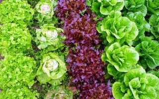 Популярные сорта салатов для посадки