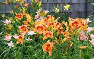 Незаменимые лилейники — уход, размножение и использование в дизайне сада