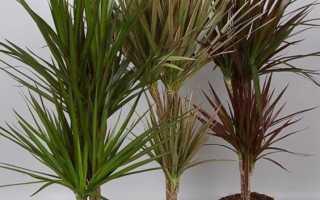Драцена — основные болезни листьев растения