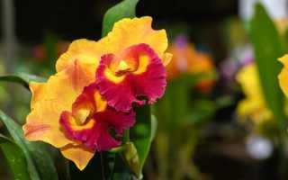 Орхидеи с ароматами фруктов и изысканных духов