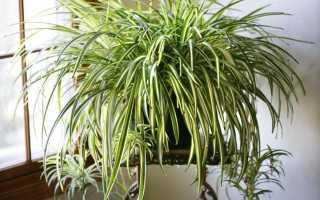 10 причин поселить у себя хлорофитум