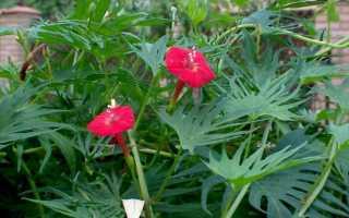 Выращивание квамоклита перистого или кипарисной лианы — советы специалистов