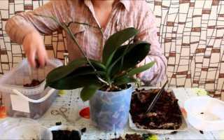 Как пересадить орхидею в домашних условиях, важные правила