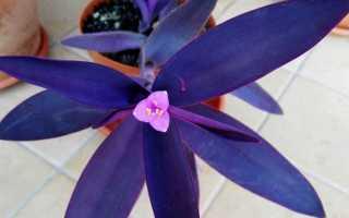 Фиолетовая традесканция, или Сеткрезия — яркая и неприхотливая