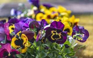 Виола Виттрока — жемчужина любого цветника