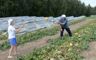 Высокопродуктивные сорта дынь для Подмосковья — способы выращивания
