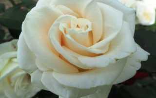 Декоративная роза Анастасия — отзывы и особенности выращивания